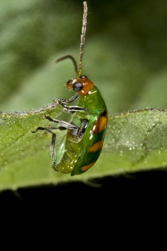 Besouro numa folha de manjericão
